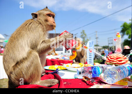 Nov. 28, 2010 - Lopburi, Thailand - A monkey drinks a can of soda during the annual 'monkey buffet festival' at - Stock Photo