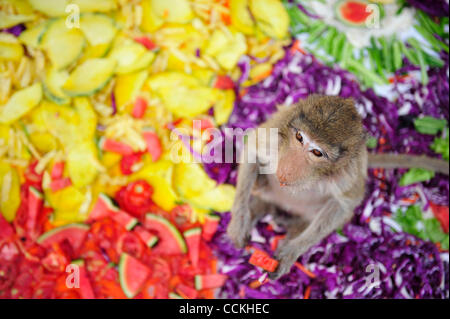 Nov. 28, 2010 - Lopburi, Thailand - A monkey eats a watermelon during the annual 'monkey buffet festival' at the - Stock Photo