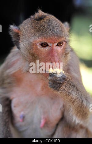 Nov. 28, 2010 - Lopburi, Thailand - A monkey eats an boiled egg during the annual 'monkey buffet festival' at the - Stock Photo