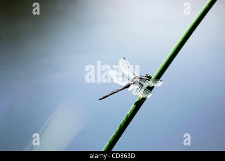 June 13, 2008, A dragonfly rests on a thick blade of grass overlooking a small pond at Mount Auburn Cemetery in - Stock Photo