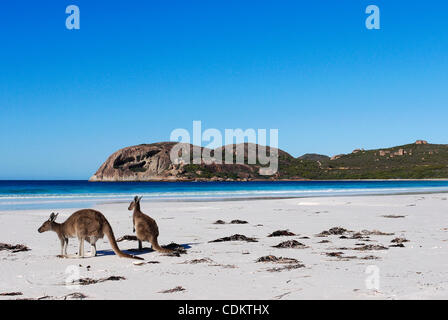 Mar 26, 2011 - Esperance, Western Australia, Australia - Two grey kangaroos sit on the beach at Lucky Bay in Cape - Stock Photo
