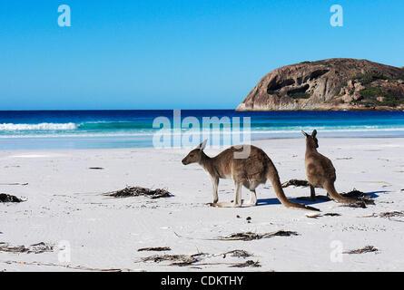 Mar 26, 2011 - Esperance, Western Australia, Australia - Two grey kangaroos sit on the beach at Lucky Bay in Cape - Stock Photo