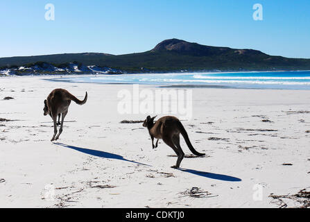 Mar 26, 2011 - Esperance, Western Australia, Australia - Two grey kangaroos hop down the beach at Lucky Bay in Cape - Stock Photo