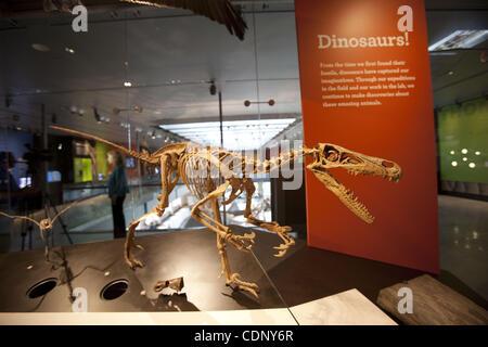 July 07, 2011 - Los Angeles, California, U.S. - Skeleton of a Velociraptor mongoliensis, ancestor of modern birds, - Stock Photo