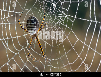 Oct. 28, 2011 - Elkton, Oregon, U.S - A black and yellow garden spider hangs in its dew coated web on a hillside - Stock Photo
