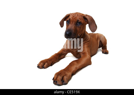 A Rhodesian Ridgeback puppy sitting down - Stock Photo