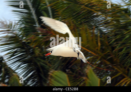 Red-tailed Tropicbird, Phaethon rubricauda,  coming in to land at a nesting site, Aitutaki, Cook Islands. - Stock Photo