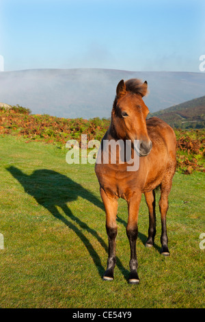Dartmoor Pony foal on the Dartmoor moorland, Devon, England. Autumn (September) 2011. - Stock Photo