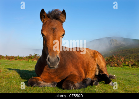 Dartmoor Pony foal resting on open moorland, Dartmoor, Devon, England. Autumn (September) 2011. - Stock Photo