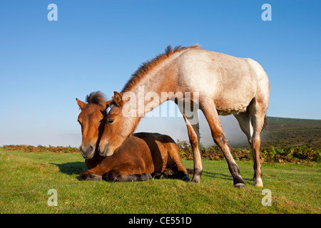 Dartmoor Pony Foals on the open moorland, Dartmoor, Devon, England. Autumn (September) 2011. - Stock Photo