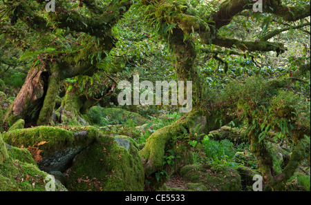 Wistman's Wood National Nature Reserve in Dartmoor, Devon, England. Autumn (October) 2011. - Stock Photo
