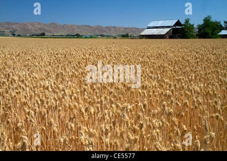 Wheat field near Emmett, Idaho, USA. - Stock Photo