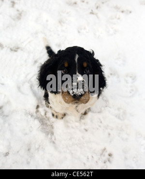Indie, the Springer Spaniel puppy's first outing in the snow,  playing and tunneling  in the snow, leaving snow - Stock Photo