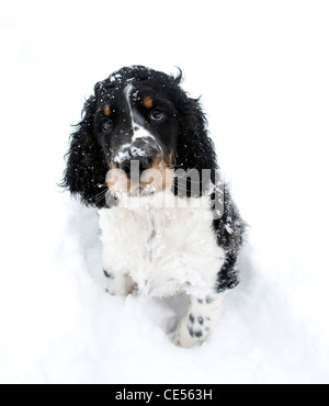 Indie, the English springer spaniel puppy and his first outing in the snow, has a quizzical, funny expression as - Stock Photo
