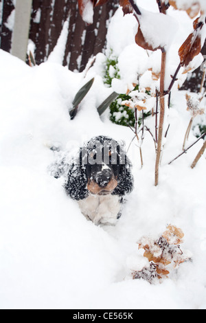 Indie,  the Springer spaniel puppy on his first outing in the snow, finding out how much fun it is to dig a hole - Stock Photo