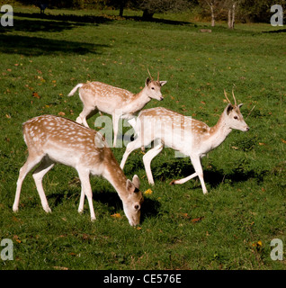 Fallow Deer hind and two young bucks in Ashton Court deer park in Bristol UK - Stock Photo