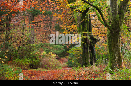 Deciduous woodland with beautiful autumn colours, Grasmere, Lake District, Cumbria, England. Autumn (November) 2011. - Stock Photo