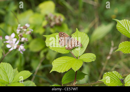 speckled wood butterfly (Pararge aegeria) perched on a leaf - Stock Photo