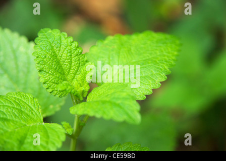 Lemon balm (Melissa officinalis), a perennial herb in the mint family Lamiaceae - Stock Photo