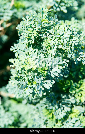 Foliage of the Common Rue (Ruta graveolens), a herb that is native to southeastern Europe. - Stock Photo