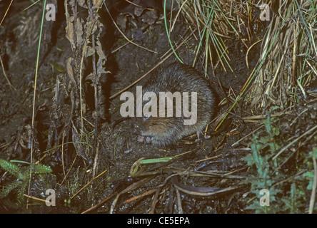 Water Vole Arvicola terrestris feeding on bank of pond. UK - Stock Photo
