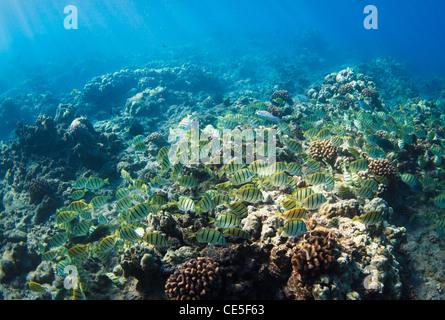 Tropical Reef in Hawaii Underwater - Stock Photo