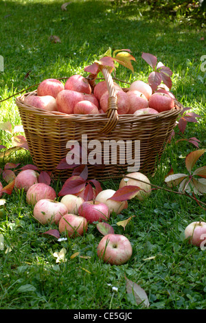 still life with apples in the garden - Stock Photo