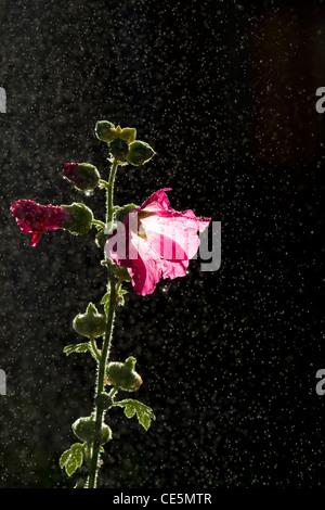 Hollyhock flowering plant. - Stock Photo