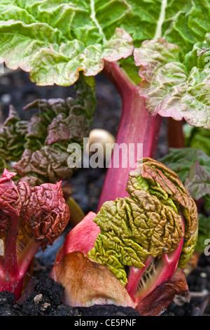 New rhubarb leaf emerging from a bud - Stock Photo