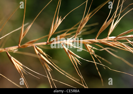 bottlebrush grass seed head - Stock Photo