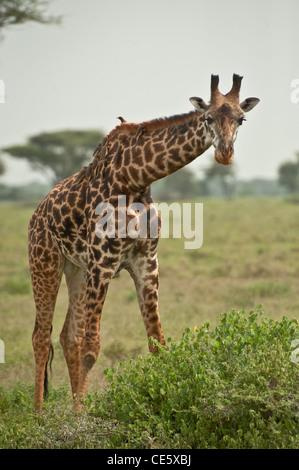 Giraffe feeding at Serengeti, Tanzania, with Red-billed Oxpeckers on back - Stock Photo
