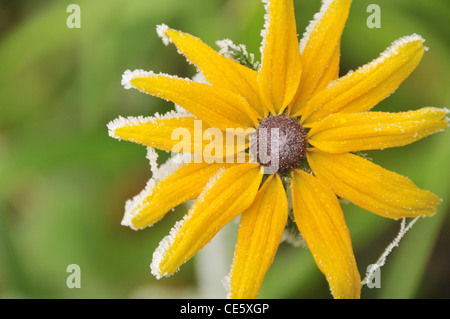 A single flower covered by frost - Rudbeckia covered by frost - Stock Photo