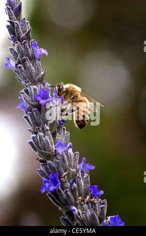 Bee gathering pollen from lavender - Stock Photo