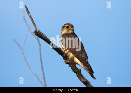 Merlin Falco columbarius columbarius  Duluth, Minnesota, United States 15 September   Adult Female 'Taiga'     Falconidae - Stock Photo