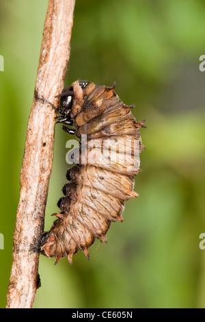 Polydamas Swallowtail Battus polydamas Gomez Farias, Mexico 29 December Last instar caterpillar preparing to pupate. - Stock Photo