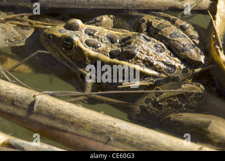 Northern Leopard Frog, (Lithobates pipiens), Cedro Creek, Sandia Mountains, Bernalillio county, New Mexico, USA. - Stock Photo