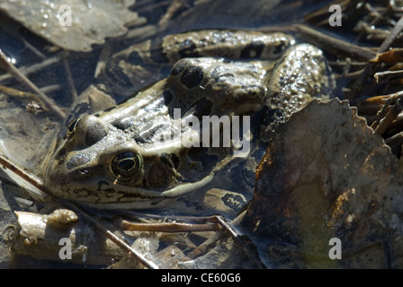 Northern Leopard Frog, (Lithobates pipiens), Cedro Creek, Sandia Mountains, Bernalillio county, New Mexico, USA. - Stock Photo