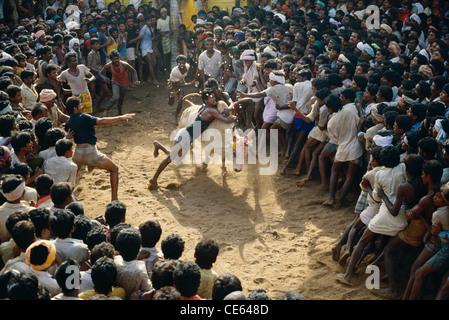 Bull taming festival Jallikattu ; Tamil Nadu ; India - Stock Photo