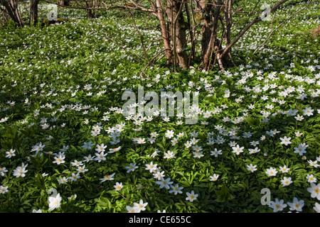 Wood anemones - Anemone nemorosa - Stock Photo