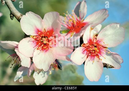 Portugal, Algarve: Almond tree in  blossom - Stock Photo