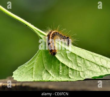 Black caterpillar with long hair - Stock Photo