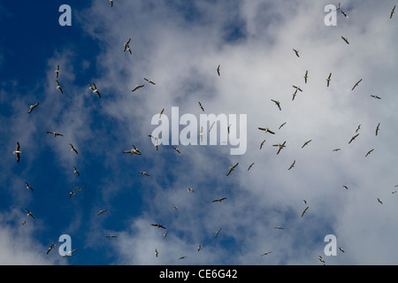 A flock of seagulls flying against the sky - Stock Photo