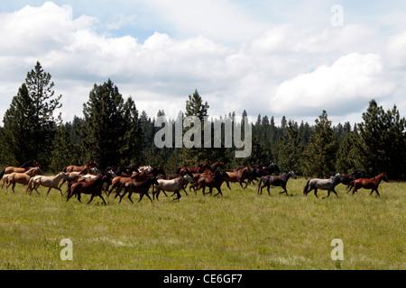 USA.  Lusitano horses running wild on stud farm in Oregan. - Stock Photo