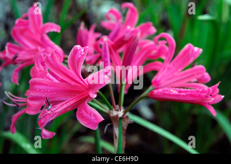 large flowered nerine zeal giant agm closeup selective focus october plant portraits bulbs autumn autumnal flowers - Stock Photo