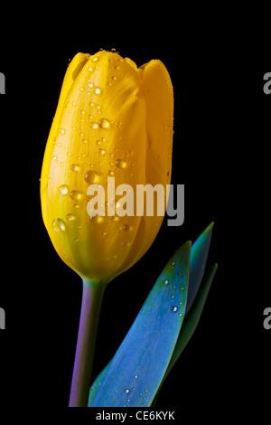 Single yellow tulip - Stock Photo
