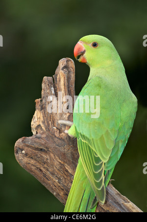 A female Ringnecked Parakeet photographed in Dubai in the United Arab Emirates. - Stock Photo