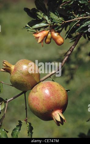 VPA 82020 : fruits ; Food ; Pomegranate Dalim (Punica granatum Linn) growing on trees India - Stock Photo