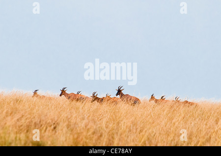 Herd of Topi on the plain of the Masai Mara, Kenya, Africa - Stock Photo