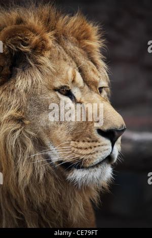 Big beautiful lion portrait - Stock Photo