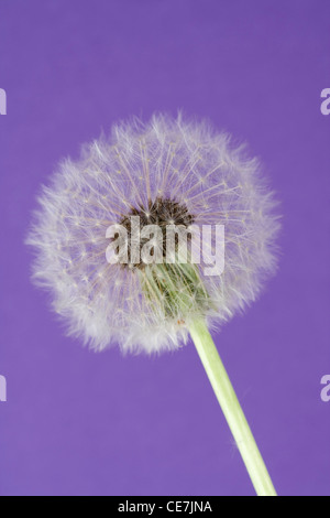 Dandelion clock, Taraxacum officinale, White, Purple. - Stock Photo